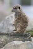 Meerkat mongoose. Up a tree Royalty Free Stock Photos