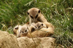 Meerkat - Mother with babies Royalty Free Stock Photography
