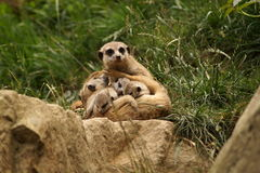 Meerkat - Mother with babies Royalty Free Stock Photos