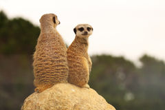 Meerkat Mother and Baby Stock Photos
