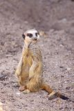 A Meerkat on the move. The meerkat or suricate Suricata suricatta is a small carnivoran belonging to the mongoose family Herpestidae. It is the only member of royalty free stock image