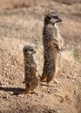 Meerkat Mutter und Schätzchen Stockbild