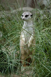 Meerkat na grama Fotografia de Stock Royalty Free