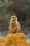 Meerkat na skale Obraz Royalty Free
