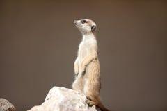 Meerkat na skale Fotografia Stock