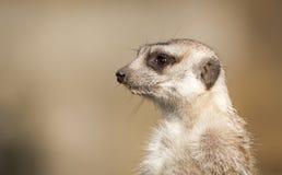 Meerkat na strażniku, szczegółu portret Fotografia Royalty Free