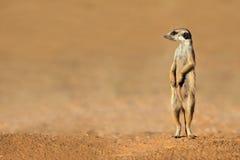 Meerkat na strażniku Fotografia Royalty Free
