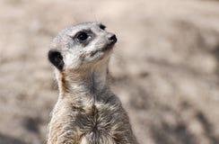 Meerkat na vigia Foto de Stock Royalty Free