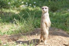 Meerkat, natural behavior, watching for enemies Royalty Free Stock Image