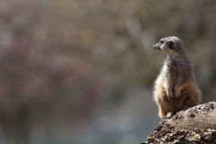 Meerkat nature image with copy space. Cute animal picture with s. Pace for wildlife related text Stock Photos