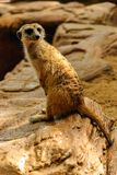 The meerkat of nature. A meerkat is standing lovely in the zoo Stock Photos