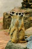The meerkat of nature. Two meerkats is standing lovely in the zoo Royalty Free Stock Image