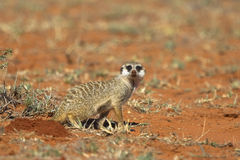 Meerkat nel deserto fotografie stock