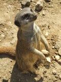 Meerkat nella sabbia Fotografia Stock