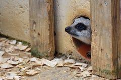 Meerkat nervioso que emerge Foto de archivo