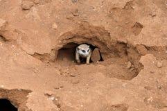 Meerkat in nest Stock Afbeeldingen