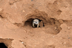 Meerkat in nest. Meerkat or suricate in nest or burrow Stock Images