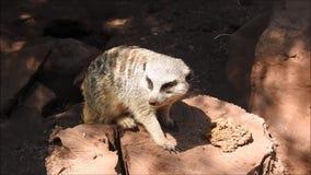 Meerkat no Chile vídeos de arquivo