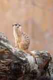 Meerkat no dever Imagem de Stock