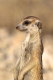 Meerkat no dever da vigia Fotos de Stock Royalty Free