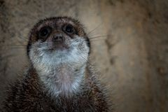 Meerkat no jardim zoológico fotos de stock