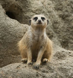 Meerkat no jardim zoológico imagem de stock