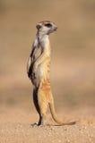 Meerkat no protetor Fotografia de Stock