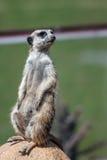 Meerkat no protetor Imagem de Stock Royalty Free
