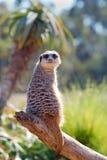 Meerkat no registro Fotos de Stock
