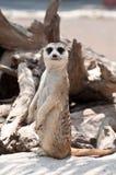 Meerkat o Suricate Immagine Stock Libera da Diritti