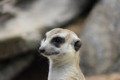 Meerkat o Suricate Foto de archivo libre de regalías