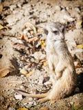 Meerkat o suricate Fotografie Stock