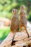 Meerkat o Suricate in Africa Immagini Stock Libere da Diritti
