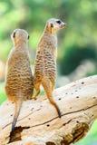 Meerkat o Suricate in Africa Fotografie Stock