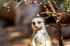Meerkat o Suricate in Africa Immagine Stock Libera da Diritti