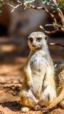 Meerkat o Suricate in Africa Fotografie Stock Libere da Diritti