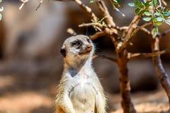 Meerkat o Suricate in Africa Fotografia Stock Libera da Diritti