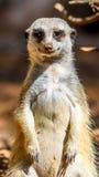 Meerkat o Suricate in Africa Immagine Stock