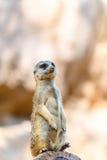 Meerkat o Suricate in Africa Fotografia Stock