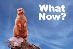Meerkat o suricate curioso che chiede a ` che cosa ora? ` Fotografie Stock