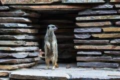 Meerkat o suricate que coloca la mirada vertical hacia fuera del claro de una pared de piedra Imagenes de archivo