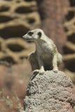 Meerkat observador na rocha Foto de Stock Royalty Free