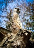 Meerkat observe photographie stock libre de droits