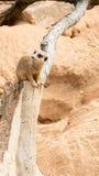 Meerkat observera dess omge Royaltyfri Foto