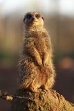 Meerkat obserwuje swój otoczenia Zdjęcie Stock