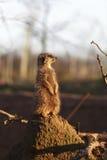 Meerkat obserwuje swój otoczenia Fotografia Stock