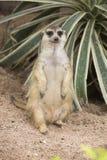 Meerkat obsiadanie na piasku Obrazy Royalty Free