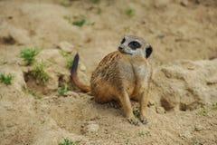 Meerkat obsiadanie na piasku ogląda inny obraz stock