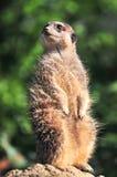 Meerkat obsiadanie na rockowy oglądać out dla drapieżników Obrazy Stock