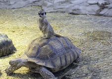 Meerkat obsiadanie na żółwiu Fotografia Royalty Free